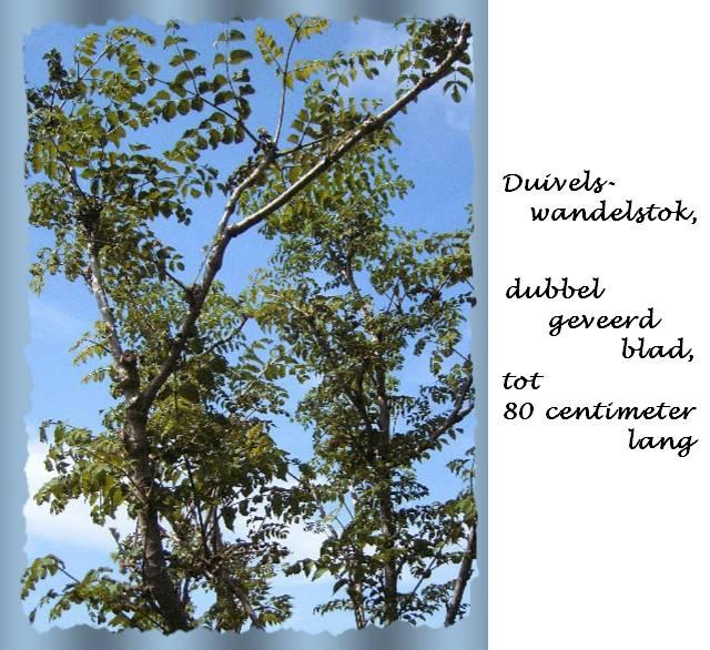Plant duivelswandelstok - Foto droge tuin ...