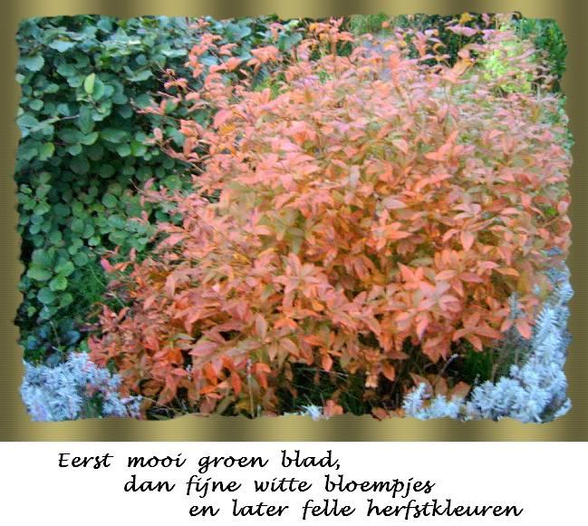 Plant gillenia - Foto droge tuin ...